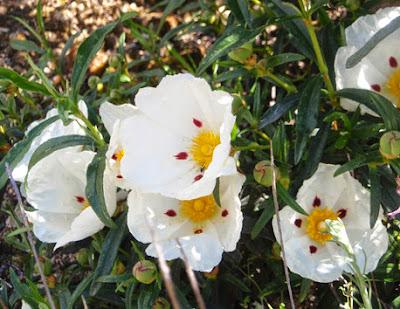 Jara pringosa (Cistus ladanifer)de flor blanca