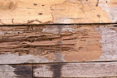 sàn gỗ tự nhiên bị mối mọt