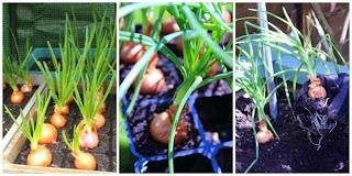 http://www.lifeofpottering.co.uk/2014/06/the-veg-plot-may.html