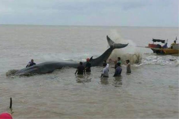 Ikan paus Pantai Rambah, Pontian