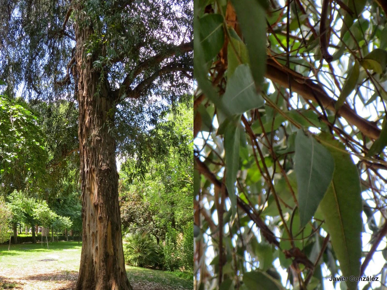 Parque del Retiro. Madrid. Eucalipto / Eucaliptus