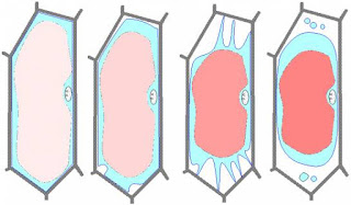 La Plasmolyse