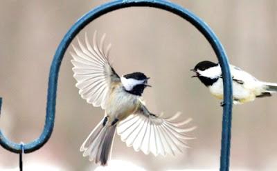FeedtheBirds 1: Chickadee birdhouse hole size