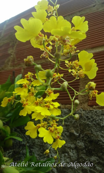 Orquídea Oncidium - Chuva de Ouro Amarela