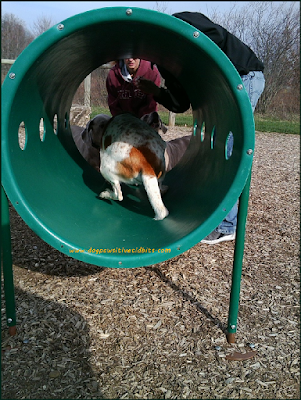 My dog Valentino crawls through the dog park agility barrel.