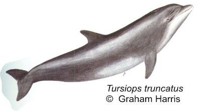 delfines del mar argentino Tonina común Tursiops truncatus
