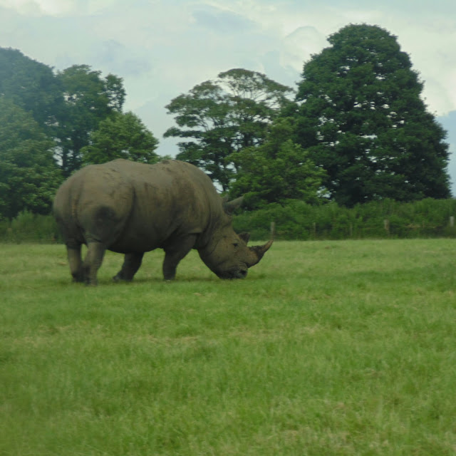 Knowsley safari park,  rhino