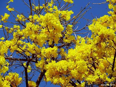 Flores, amarelo, ipê amarelo, tabebuia, Flowers, cerrado, Brazil, Yellow, Natureza, Nature, Tocantins, fotos de flores, fotos grátis,  imagens grátis