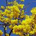 As mais belas flores do cerrado: ipê-amarelo