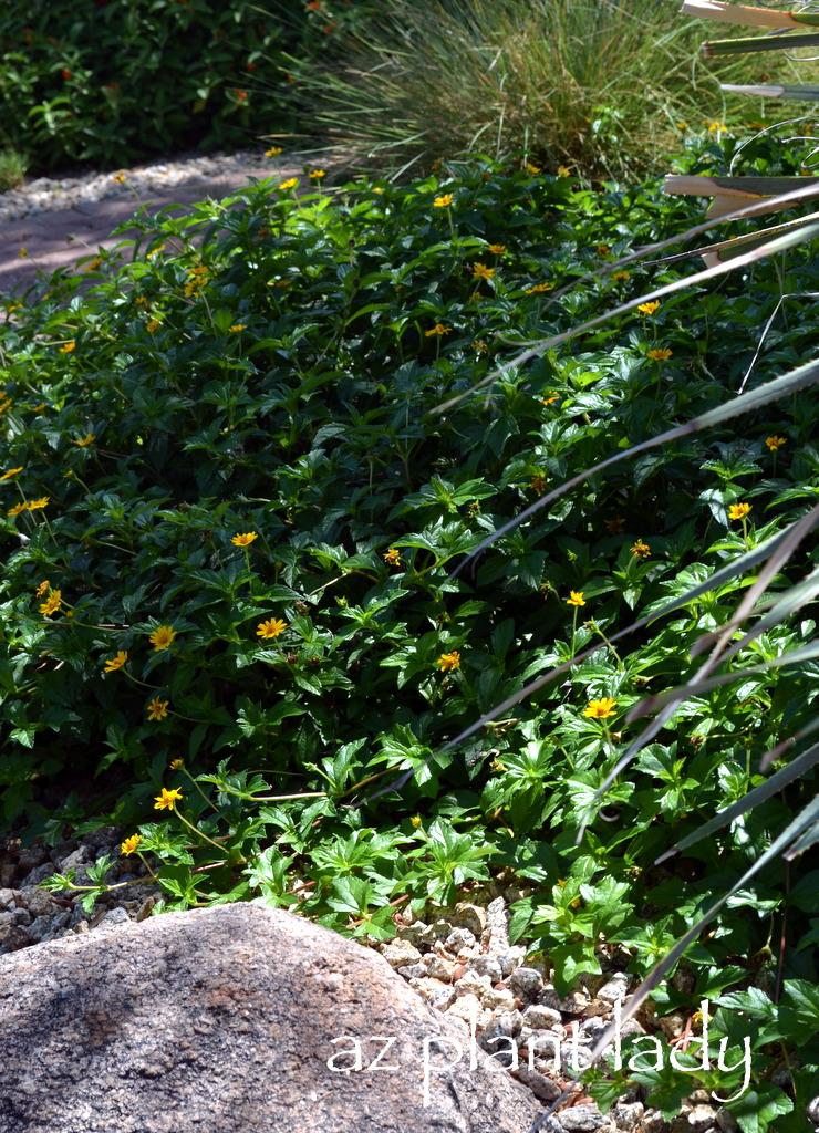 Wedelia Trilobata Archives Ramblings From A Desert Garden