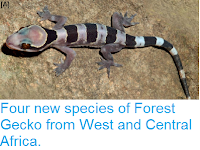 http://sciencythoughts.blogspot.co.uk/2014/09/four-new-species-of-forest-gecko-from.html