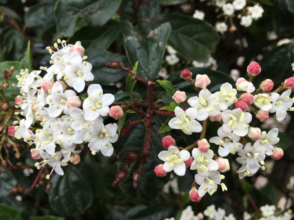 Divagar sobre tudo um pouco viburnum tinus folhados - Especies de arbustos ...