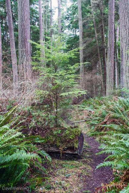 Nurse Log and Western Hemlock Sapling