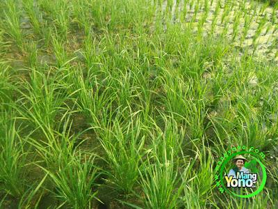 FOTO 3:  Tanaman Padi NAZWA Umur 22 HST  di Sawah Rawa Cibandung