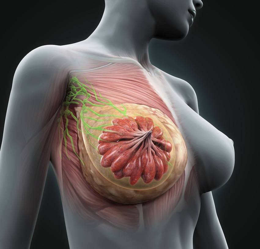 Image Result For Can Mammary Glands