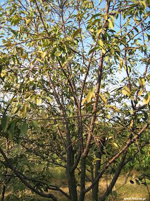 Κερασιά-Βυσσινιά: σπορά φύτεμα καλλιέργεια