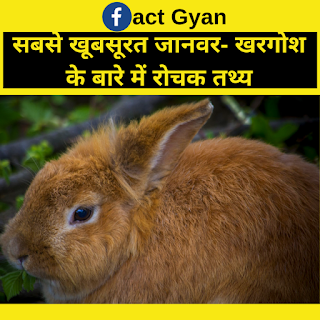 सबसे खूबसूरत जानवर- खरगोश के बारे में रोचक तथ्य:-/Rabbit's Amazing Facts In Hindi,rabbit facts in hindi , rabbit hindi, interesting facts about rabbit in hindi, hindi facts , fact gyan