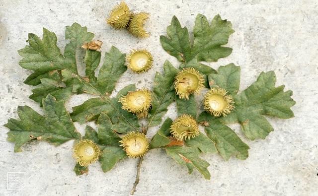 ROBLE TURCO Quercus cerris