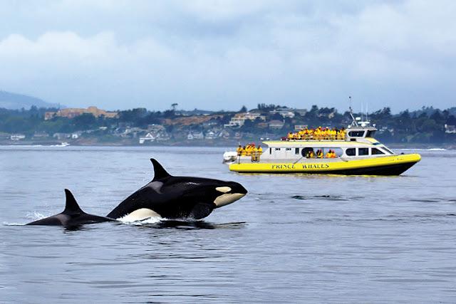 Passeio de barco para observar Baleias em Victoria