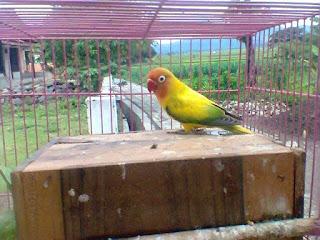 Ciri-Ciri Lovebird Blorok Hijau Atau Green Series (GS)