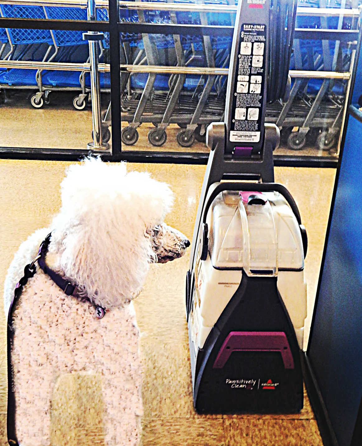 Carma Poodale : Pawsitively Clean #Bissell Carpet Cleaner