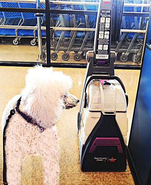 white poodle staring at the Bissell Pawsitively pet shampooer