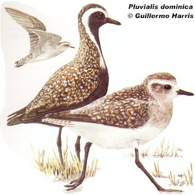 Chorlo pampa Pluvialis dominica