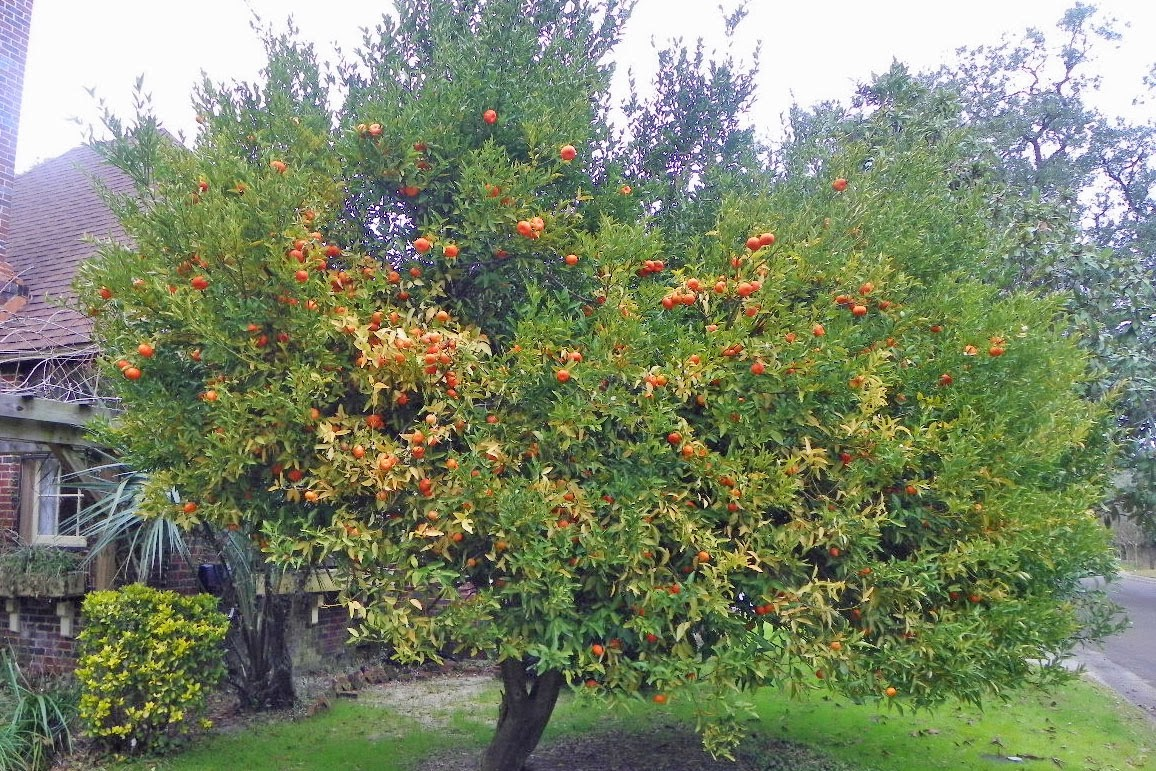 Tangerine Tree in East Hill- Pensacola, FL