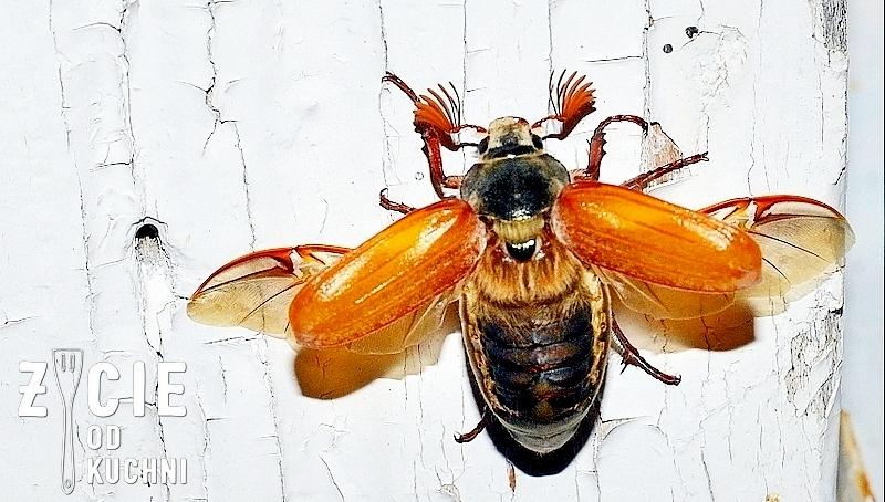 chrabaszcz majowy, chrabaszcz, maj, majowka, wiosna, podkarpacie, przyroda, owad, owady, blog, zycie od kuchni