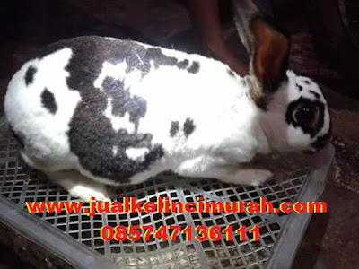 Cara Mengetahui Ciri atau Tanda Hamil Pada Kelinci
