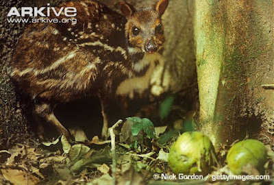 Water Chevrotain