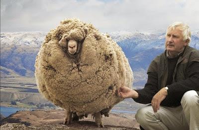 domba shrek paling berbulu
