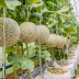 Tips and Advice on How to Grow Cantaloupes