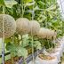 Tips and Advice on How to Grow Cantaloupes