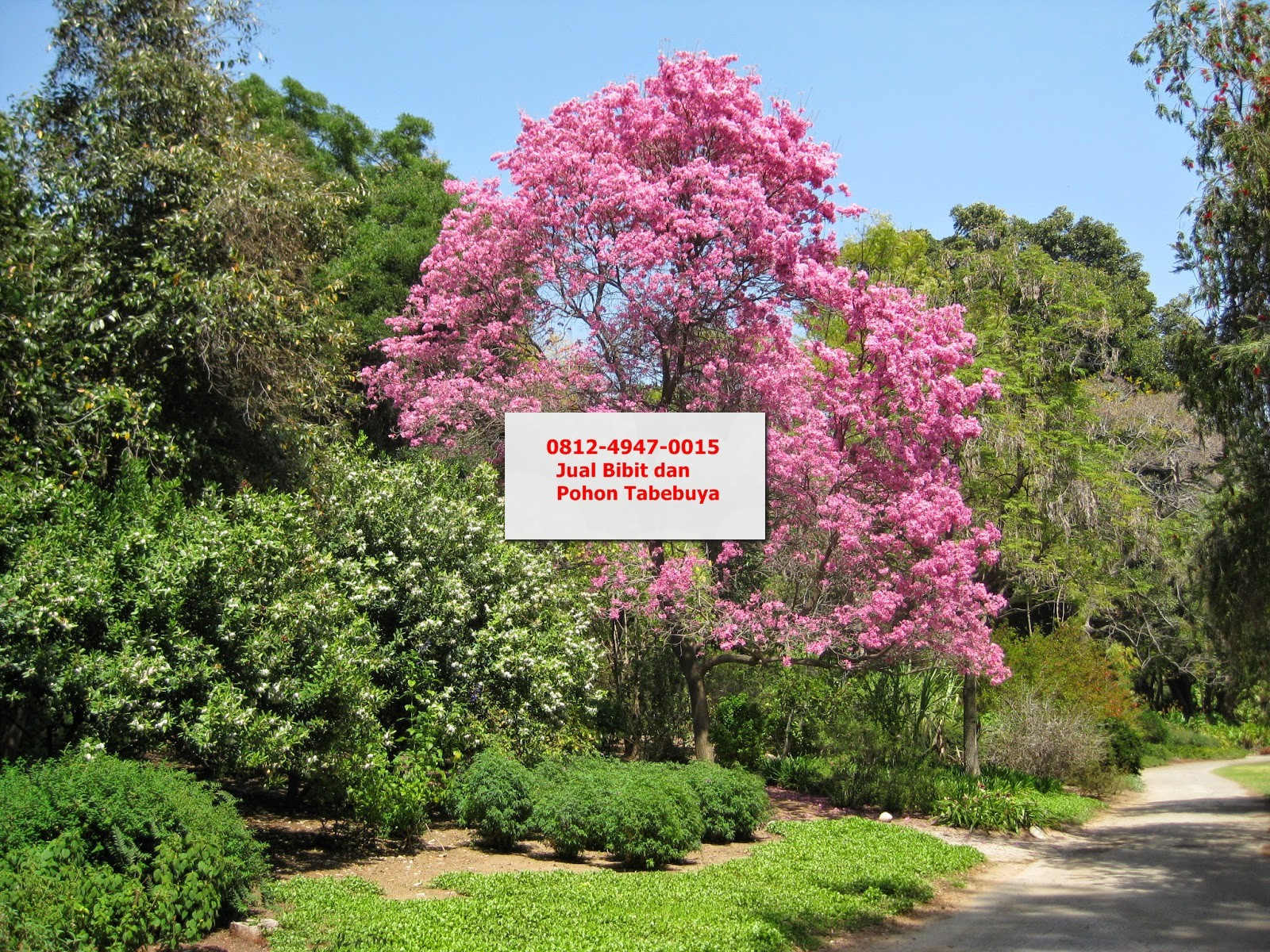 Jual Bibit Pohon Tabebuya Pink di Malang