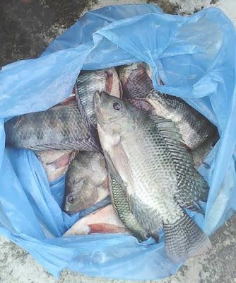 Umpan mancing nila liar,umpan ikan nila danau toba,umpan mancing ikan nila besar,umpan mancing ikan nila merah,umpan nila malam hari