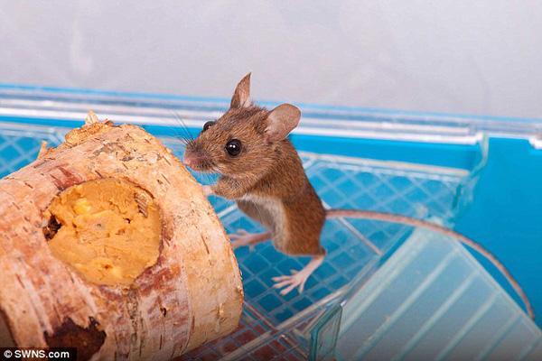 Chuột hoang may mắn được nuôi làm thú cưng sau khi bị chẹt gãy chân