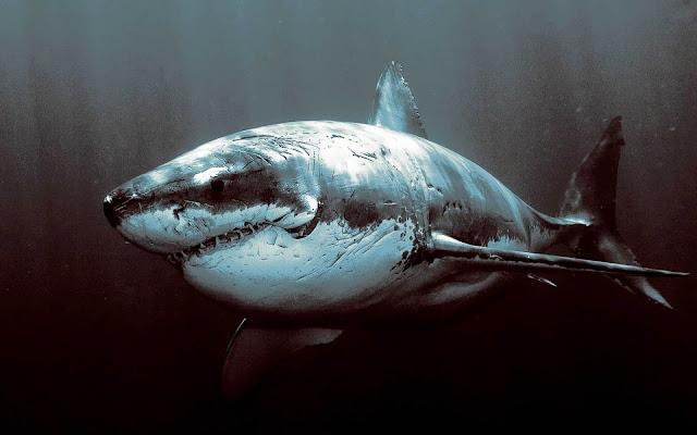 Wallpaper met een gevaarlijke witte haai