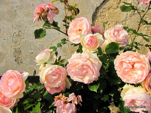 Rose rrampicanti