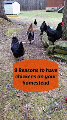 why raise chickens