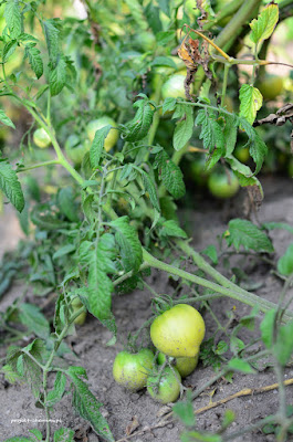 Pomidory rosnące w poziomie