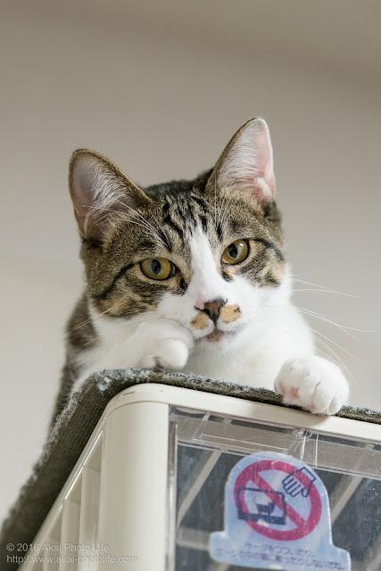 猫カフェ西国分寺シェルターのサバトラが積み上げたケージの上から見下ろしている写真 2枚目