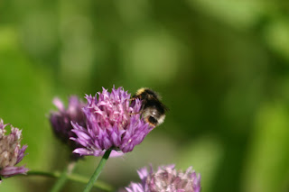 White Tailed Bumble Bee on Chive Flower