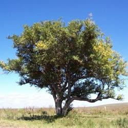 Tarumá (Citharexylum montevidense