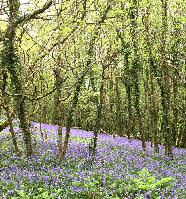bluebells-under-trees-at-The-Wenallt