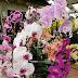World of Phalaenopsis, Ulu Yam, Selangor