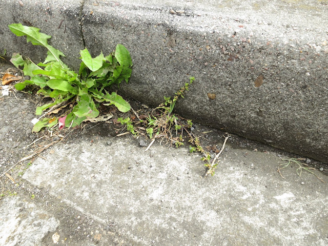 Two plants in a dry kerb