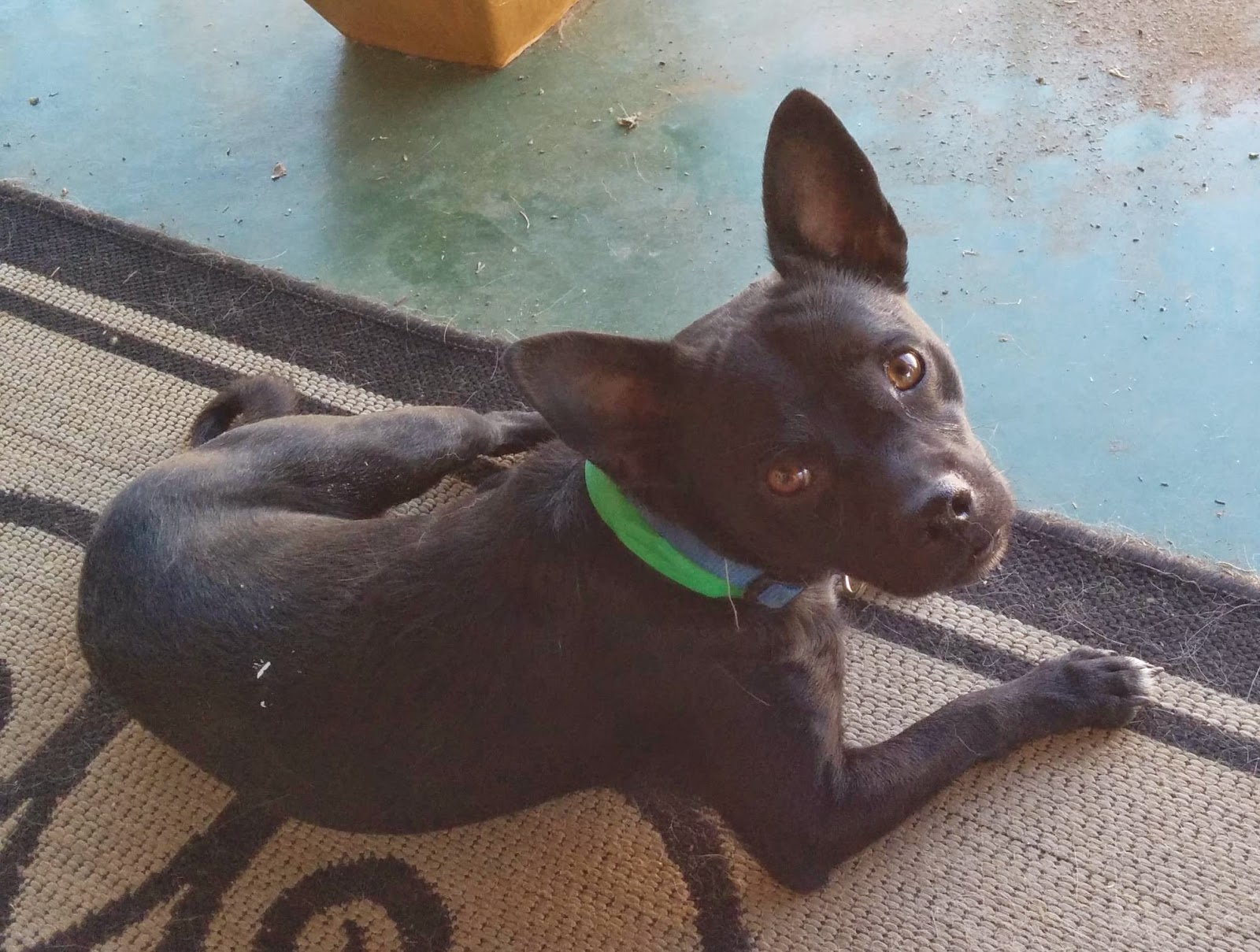 Black dogs are often overlooked at animal shelters and rescues