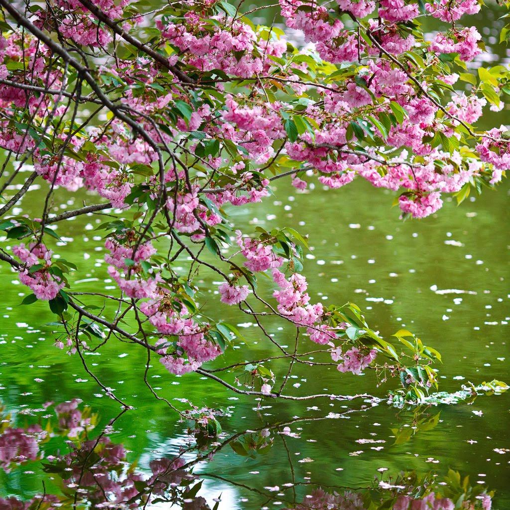 Tami Holman: Cherry Blossom Flower Wallpaper