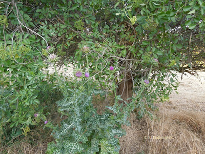 Milk Thistle and Elderberry Plants, © B. Radisavljevic